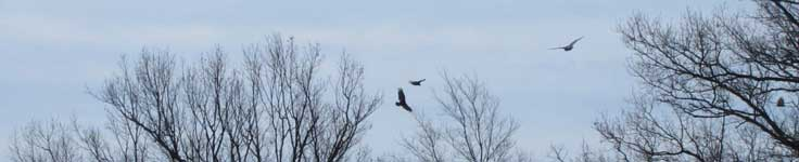 Turkey vultures soar at escarpment edge