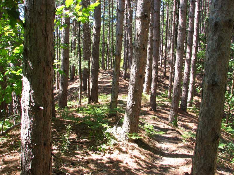 The trail winds through a pine forest